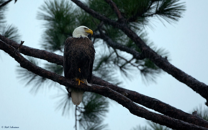 Just one shot durring a heavy rain.  You can see the rain in the dark pine areas above the eagle's head.