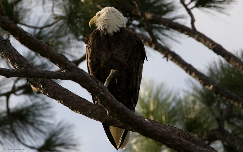 Profile view of the adult bald eagle in Punta Gorda, FL.