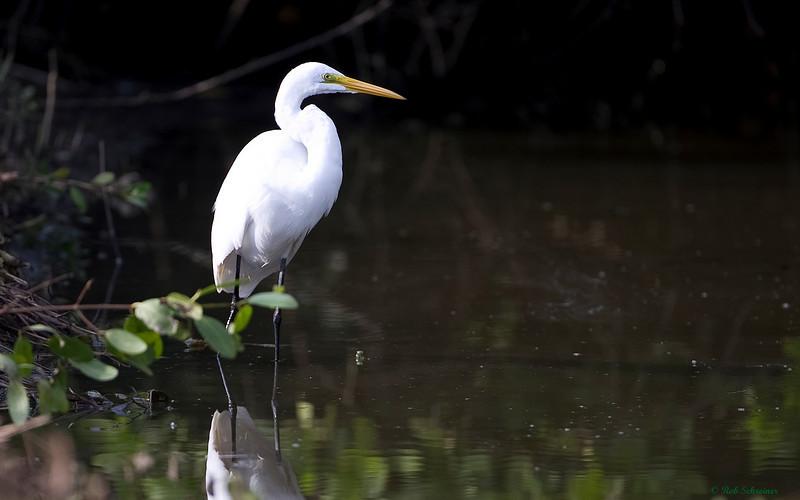 Great white egret in Punta Gorda, FL