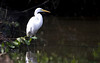 Great white egret in Punta Gorda, FL