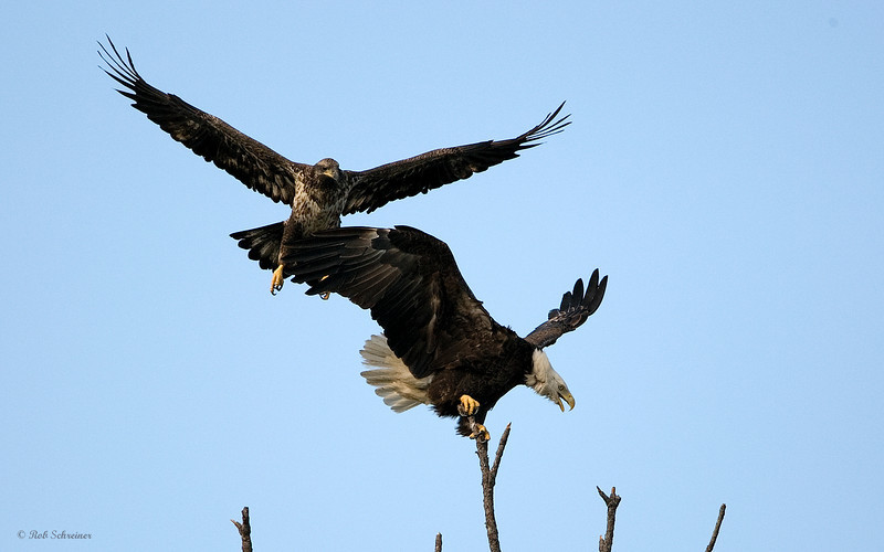 """A juvenile enters the """"no fly zone"""" and pushes the adult off"""
