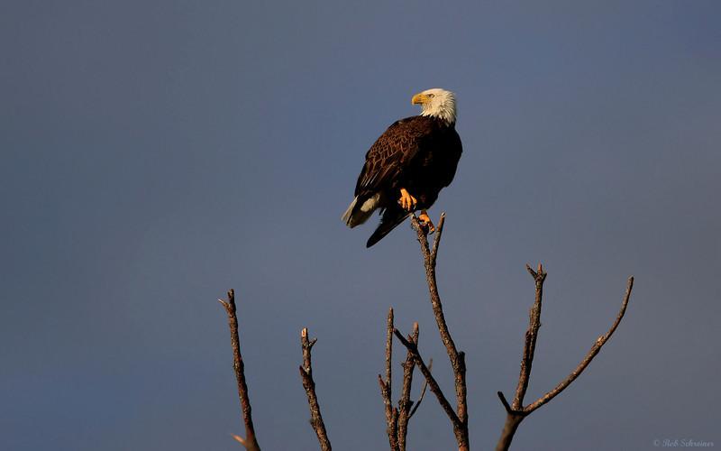 Late evening sun in Punta Gorda, FL reflects on an adult bald eagle.