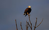 Late evening sun in Punta Gorda, FL reflects on an adult bald eagle.