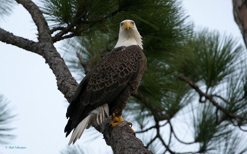 Male Bald Eagle returns to the nest.