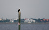 Adult bald eagle spends the morning in the middle of the Peace River in Punta Gorda, FL.