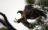 Juvenile bald eagle lands in the tree that holds an occupied nest, just 6' away from the nest.