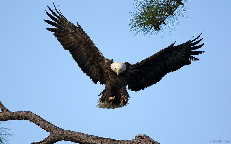 Adult bald eagle landing.