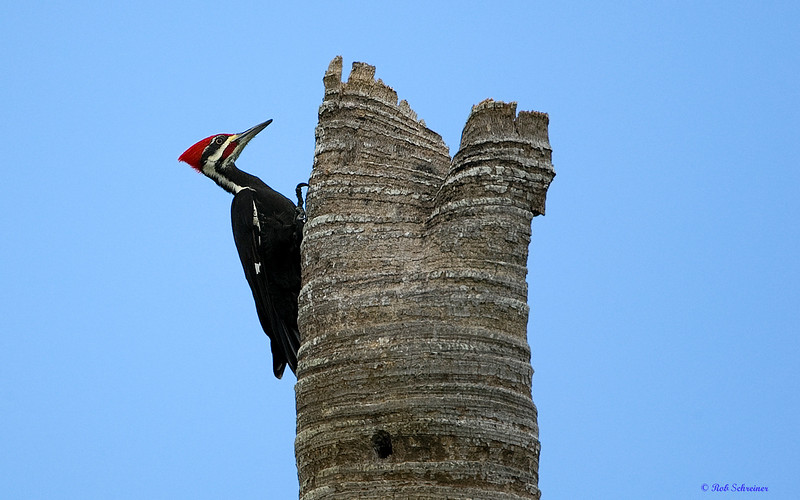 Pileated Woodpecker in Punta Gorda, FL