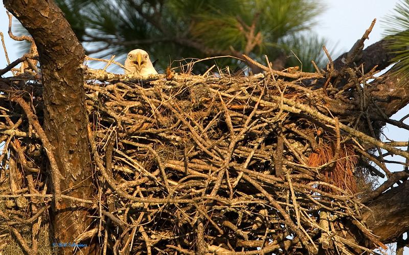 Momma Eagle keeps her eggs warm.