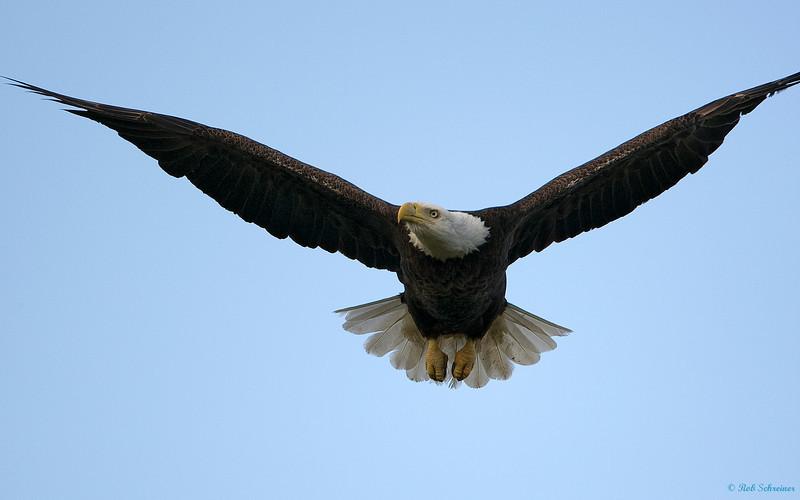 Punta Gorda eagle in flight.
