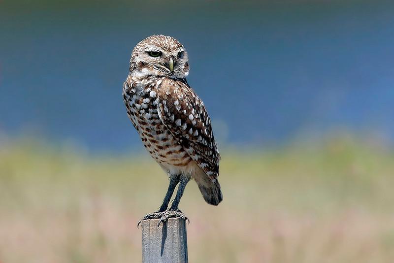 Burrowing Owl in Punta Gorda.