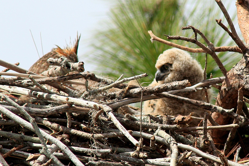 Great Horned and owlette in Punta Gorda, FL.