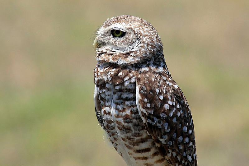 Burrowing Owl in Punta Gorda, Fl.