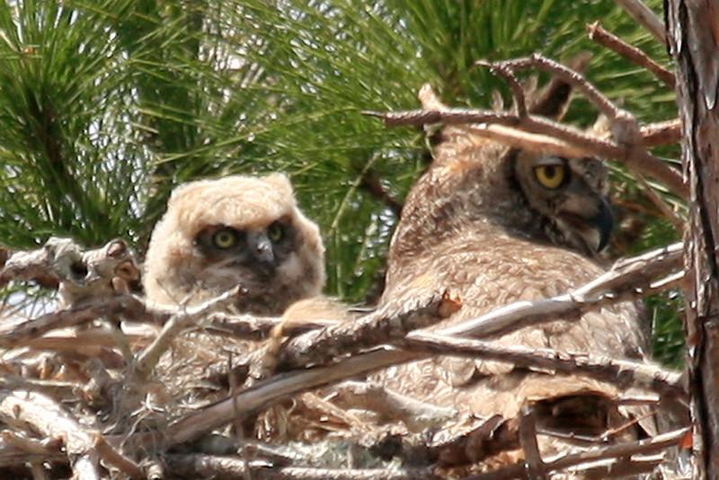 Great Horned and owlette in Punta Gorda, FL.