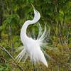 """Great Egret """"displaying"""""""
