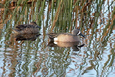 Blue Winged Teal and Female