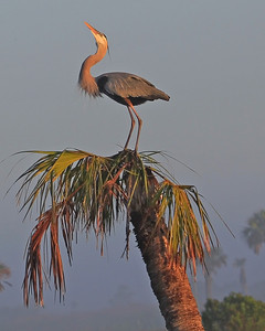Great Blue Heron Pointing