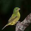 Painted Bunting, female.