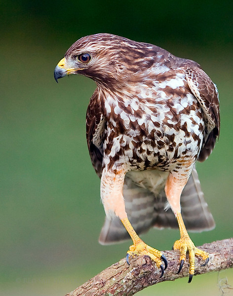 Red Shouldered Hawk.