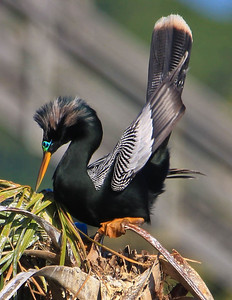 Anhinga Male in Mating Plumage