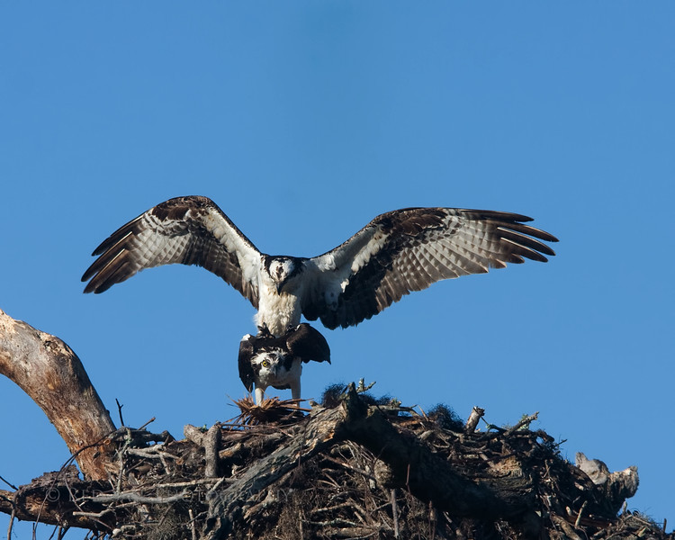 Mating Ospreys..