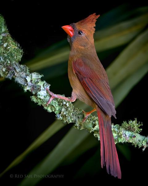 Cardinal, female..