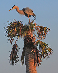 Great Blue Heron at Viera Wetlands