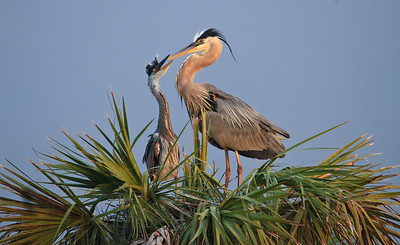 Great Blue Heron Feeding Fledgling