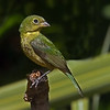 Painted Bunting female. This little beauty just arrived at my feeder, February 19th. I think she is early but I'm really glad to see her....summer is just around the corner. Image taken in my backyard, Atlantic Beach, Florida.