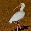 White Ibis (Eudocimus albus) adult. I chose this shot because of the unique surroundings. This reddish mud flat isn't something I've seen before.