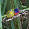 """Painted Bunting Pair"""