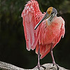 Roseate Spoonbill (Platalea ajaja) is a wading bird found in most parts of Florida.