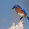 Eastern Bluebird male at Cradle Creek