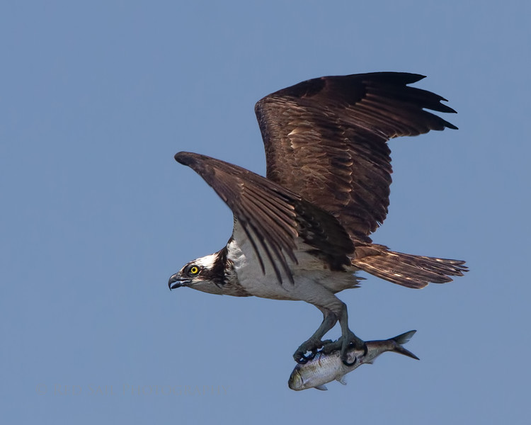 Osprey with Lunch..
