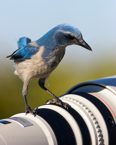 Florida Scrub Jay checking out a Canon 500mm lens.