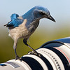 Florida Scrub Jay checking out a Canon 500mm lens.