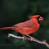 Northern Cardinal stopping by for lunch.