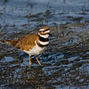 Killdeer (Charadrius vociferus) adult. Image taken at Vera West in Central Florida.