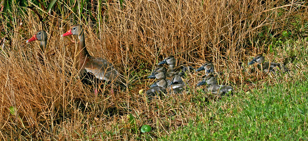 Black Bellied Whistling Ducks and Ducklings