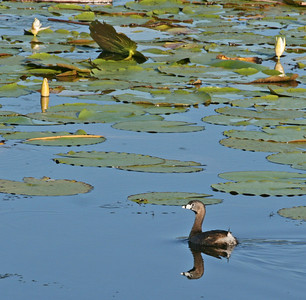 Pied Bill Grebe Among the Lily Pads