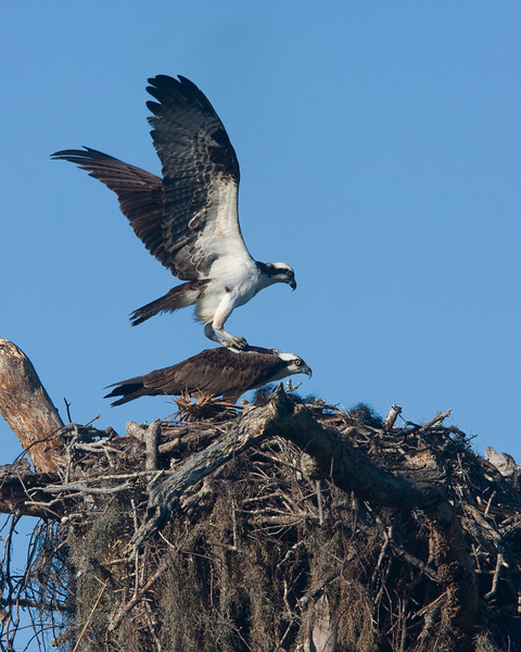 Mating Ospreys