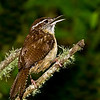 Carolina Wren (Thryothorus ludovicianus). This image was just after it took a bath...wet bird.