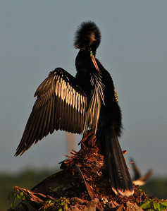 Beautiful Anhinga