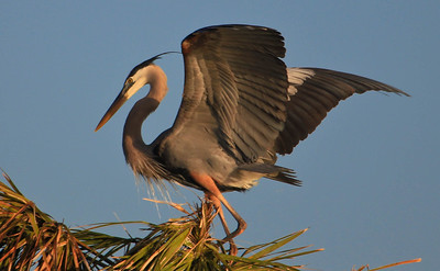 Great Blue Heron with Wings Unfurled