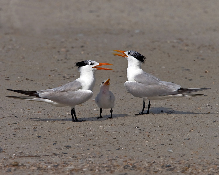 Royal Terns (Sterna maxima). The little one is always included in the conversation.
