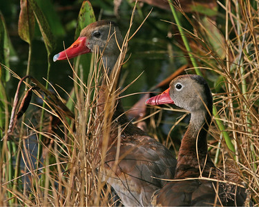Black Bellied Whistling Ducks Closeup