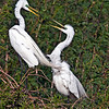 Great Egrets (Ardea alba). This is a nesting pair and if you look closely below the one on the right, you'll see the blue of the eggs. Image taken at Smith Oaks, High Island, Texas.