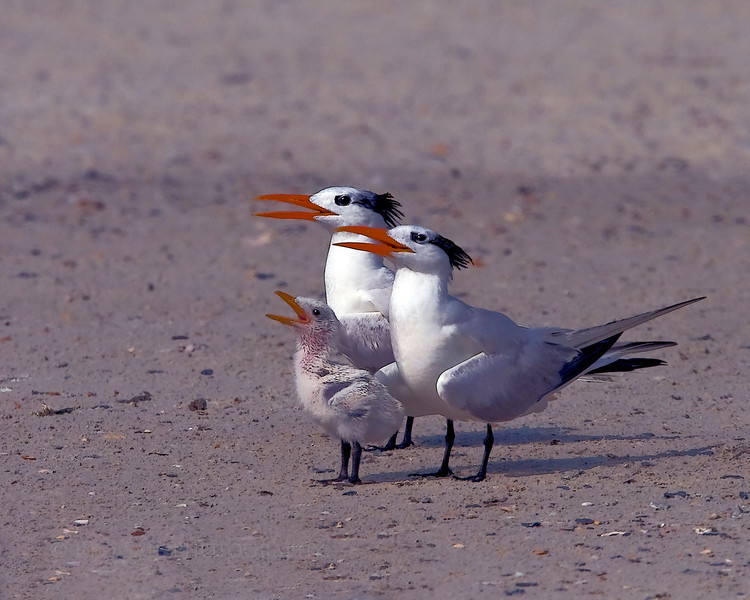 Royal Tern Family (Sterna maxima). I wanted to take their family photo at a different location buy they preferred the beach at Little Talbot Island, Jacksonville. Etching filters applied.