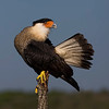 Crested Caracara (Caracara cheriway) This bird is found in south central Florida and southern Texas.