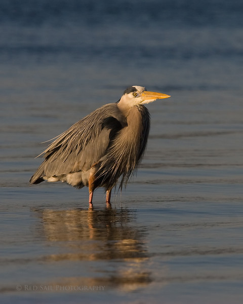 Great Blue Heron (Ardea herodias). Image taken in Mayport at the edge of the St. Johns River.